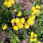 Meadow Hawkweed Weed