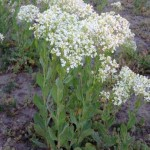 Hoary Cress or White Top