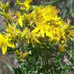 St. Johnswort